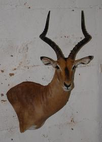 Name:  Impala.jpg Views: 66 Size:  10.1 KB